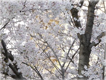 岡山後楽園桜2