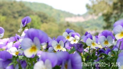 2015春の深山公園花