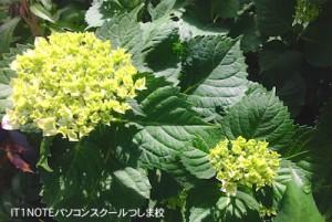 紫陽花5.20